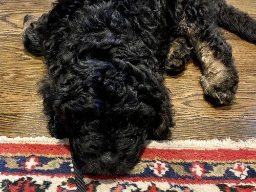 sleeping Bernedoodle puppy