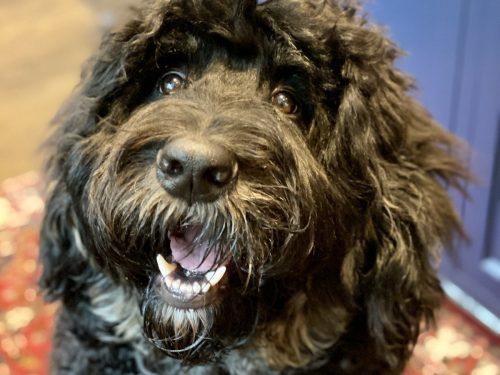 Auggie the Bernedoodle doggie