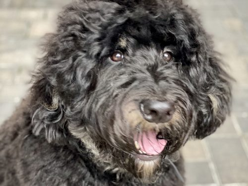 Auggie the Bernedoodle